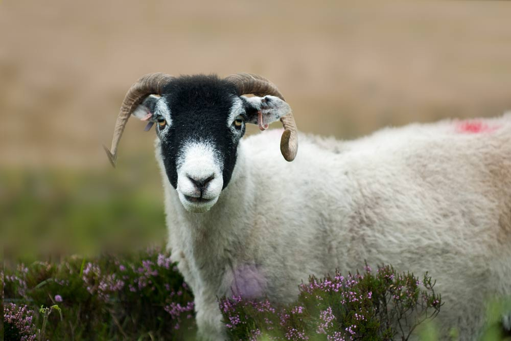 black faced sheep in profile against heather